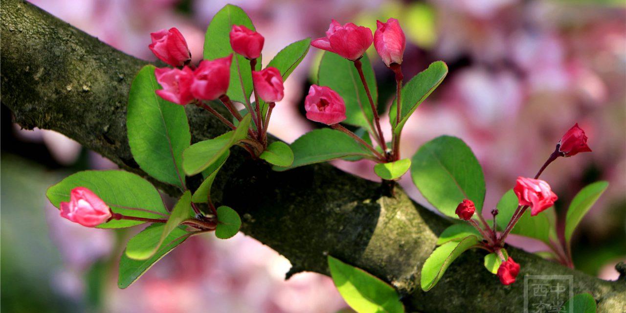 我把海棠园春天寄给你!